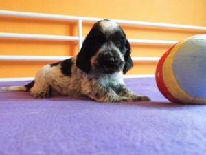 Cucciolo Bianca BR.