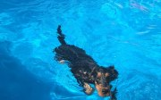 Forwardingdogs HOMER in piscina3